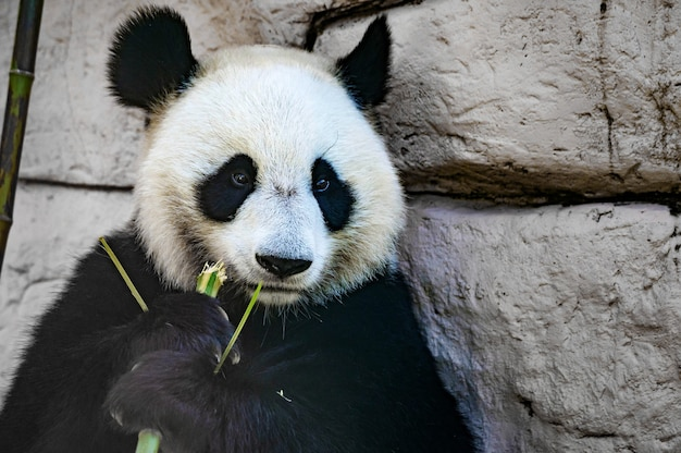Zbliżenie giant panda jedzenie jakiś bambusowy kij