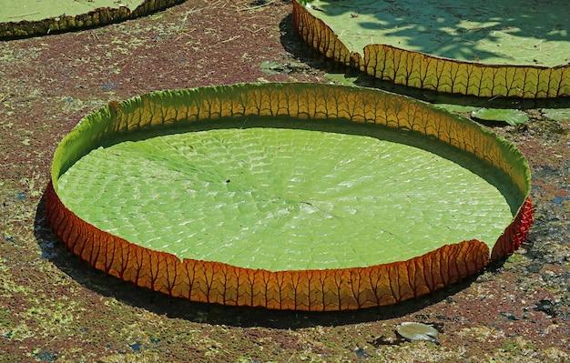 Zbliżenie giant water lily pad of victoria amazonica w sunshine pond