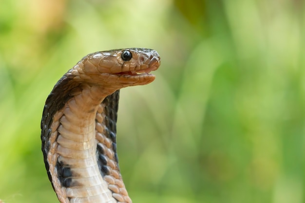 Zbliżenie głowa naja sputatrix javan cobra