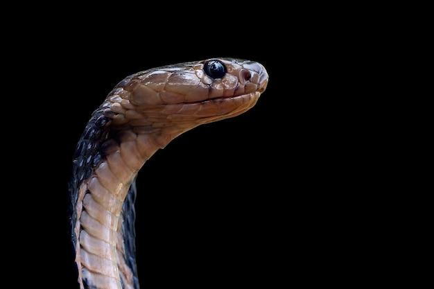 Zbliżenie głowa naja sputatrix widok z przodu kobra królewska wąż gotowy do ataku