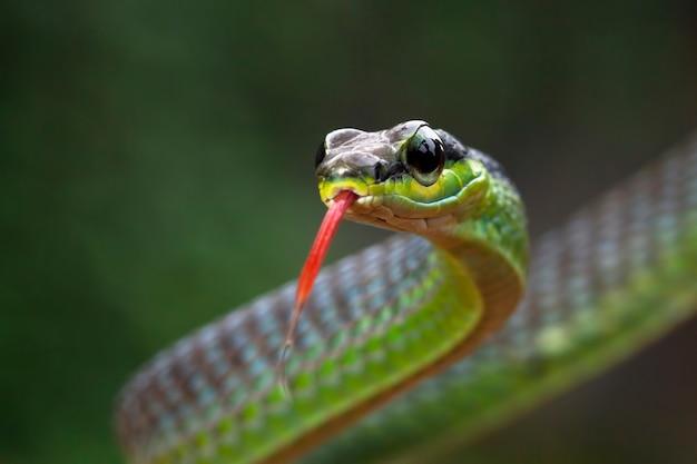 Zbliżenie głowa węża dendrelaphis formosus
