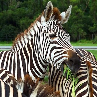 Zbliżenie głowa zebry, która jest w wielu stadach zebry.