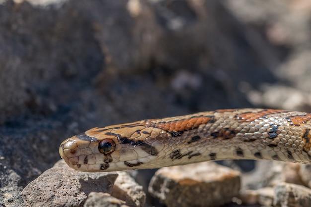 Zbliżenie głowy dorosłego węża lamparta lub węża szczura europejskiego, zamenis situla, na malcie