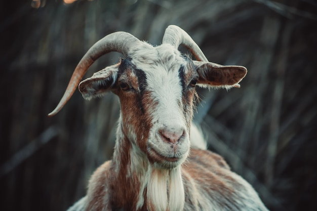 Zbliżenie głowy kozy