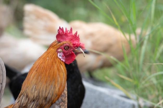 Zbliżenie głowy kurczaka