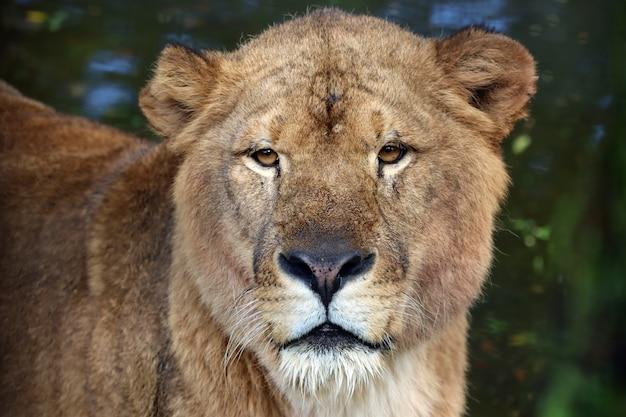 Zbliżenie głowy lwa afrykańskiego zbliżenie twarzy lwa afrykańskiego