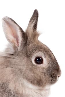 Zbliżenie głowy portret w profilu uroczego małego szarego brązowego królika z nastawionymi uszami i ostrzegawczym wyrazem na białym tle, symbolizujący wielkanoc