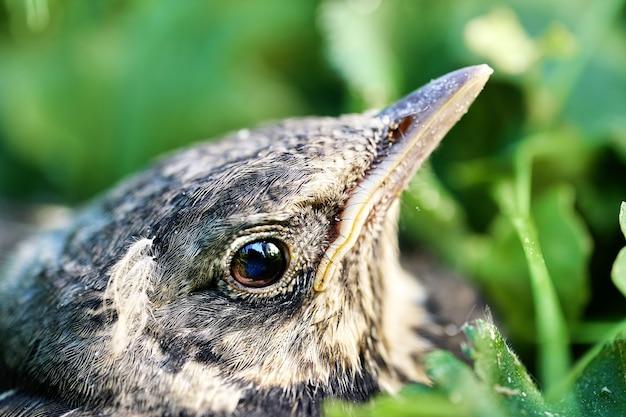 Zbliżenie głowy przestraszonego dorosłego pisklęcia drozda, który właśnie zeskoczył z gniazda na ziemię, ukrywając się w zielonej trawie