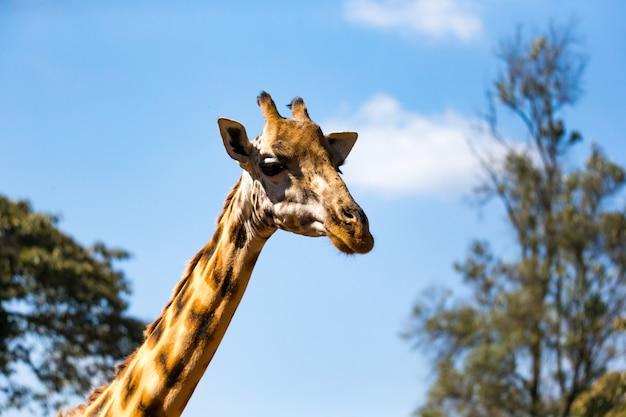 Zbliżenie głowy żyrafy