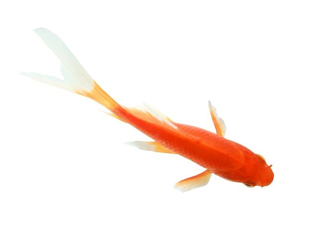 Zbliżenie goldfish odizolowywający