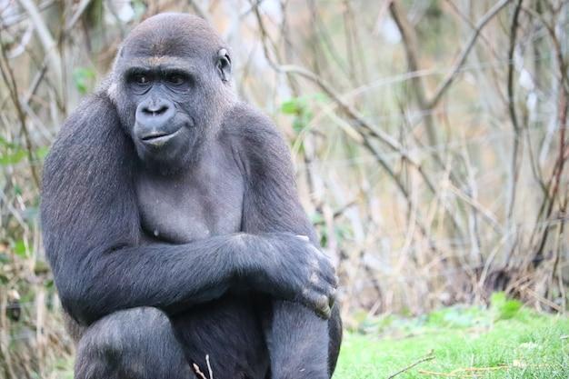 Zbliżenie goryla chwytającego za ramię, patrząc w bok