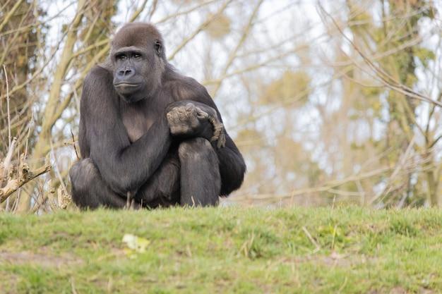 Zbliżenie goryla siedzącego wygodnie na wzgórzu i rozmarzonym daleka