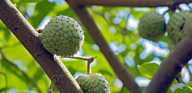 Zbliżenie graviola lub soursop na drzewie