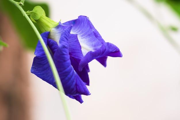 Zbliżenie grochu motylkowego clitoria ternatea l piękne fioletowe kwiaty są rodzajem zioła