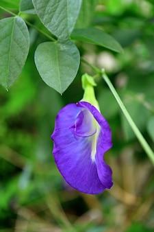 Zbliżenie groszku motyla lub kwiatu aparajita kwitnącego na drzewie