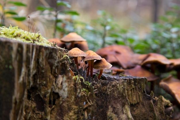 Zbliżenie grzybów otoczonych zielonym mchem na zwalonym drzewie. kuehner myces mut bilis.