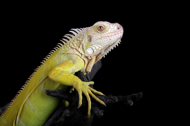 Zbliżenie iguana albino na drewnie