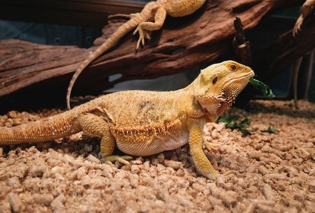 Zbliżenie iguana przy zoo
