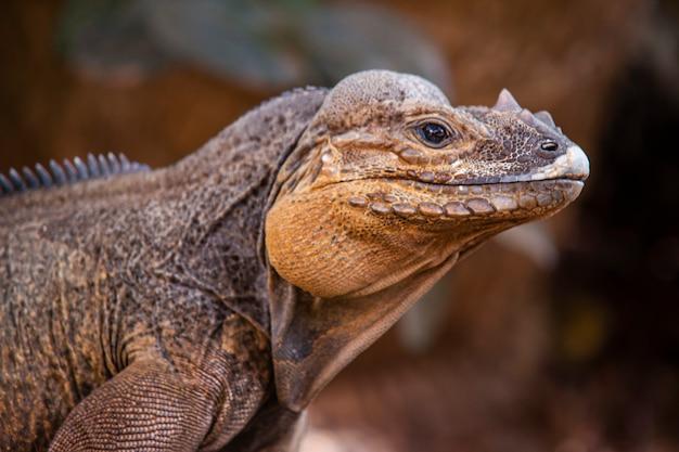 Zbliżenie iguany w przyrodzie na dominikanie