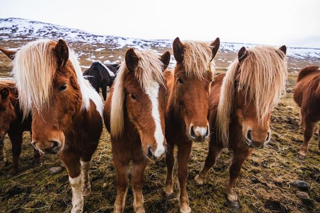 Zbliżenie islandzkich koni w polu pokrytym śniegiem i trawą pod zachmurzonym niebem w islandii