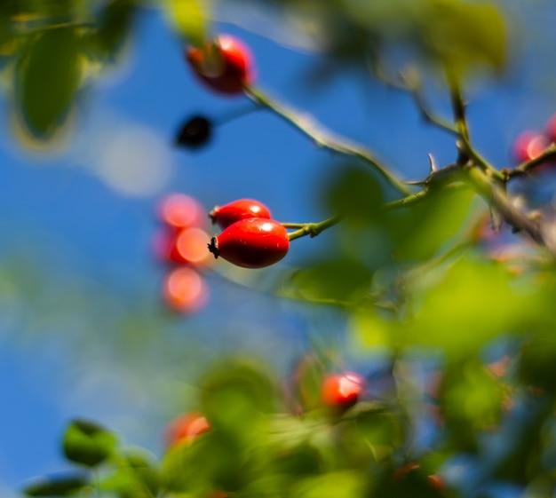 Zbliżenie: jagody dzikiej róży w słoneczny dzień. róża dla psa (rosa canina). dzikie owoce dzikiej róży w przyrodzie