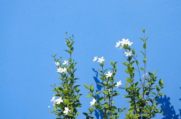 Zbliżenie jaśminów rosnących na tle niebieskiej ściany w świetle słonecznym