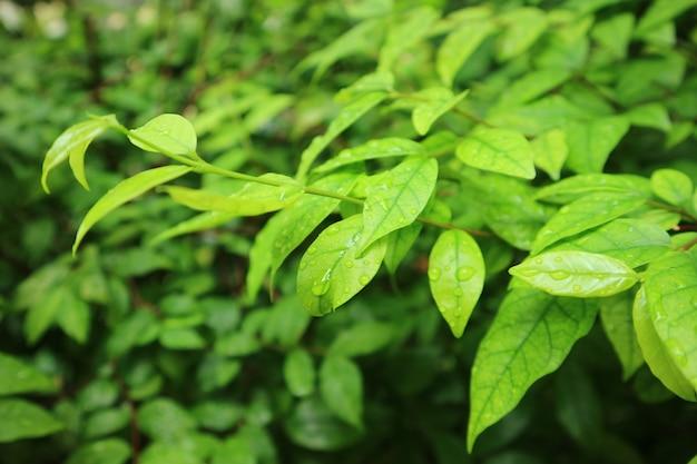 Zbliżenie jasnozielone liście z kroplami deszczu