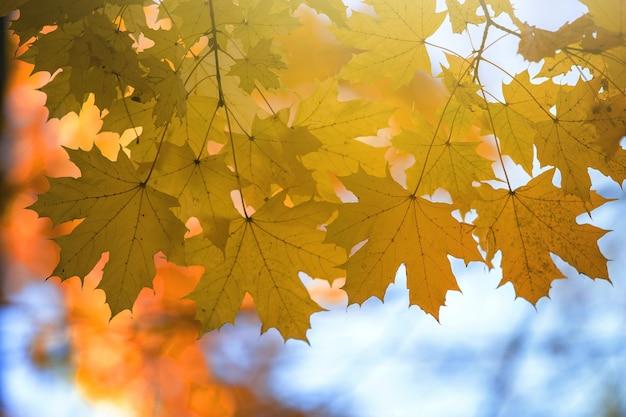 Zbliżenie jasnych żółtych i czerwonych liści klonu na jesiennych gałęziach drzew z żywą niewyraźną powierzchnią w jesiennym parku