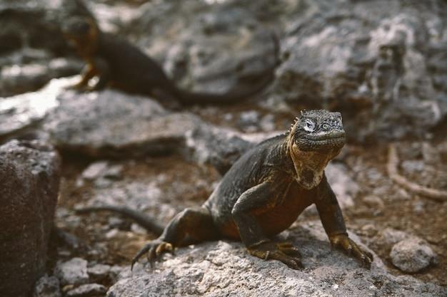 Zbliżenie jaszczurki agama na skałach
