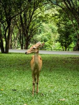 Zbliżenie jeleń elda lub jeleń antlered stojący na trawniku