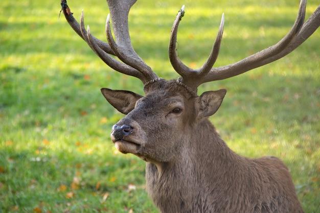Zbliżenie jelenia z dużymi rogami w parku