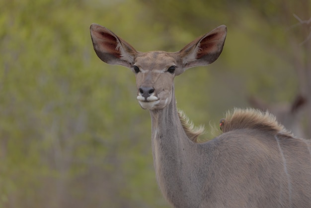 Zbliżenie jelenia z ptakami na plecach