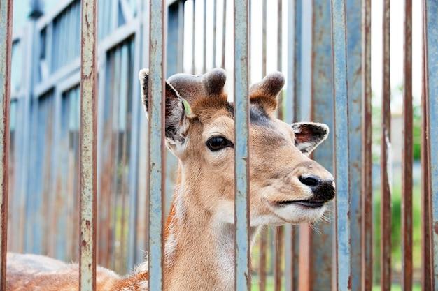 Zbliżenie jelenia żyjącego w zoo