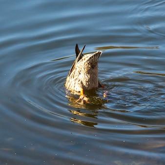 Zbliżenie kaczki krzyżówki cieszącej się nurkowaniem w wodzie podczas karmienia