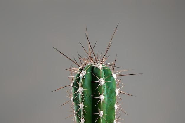 Zbliżenie: kaktus z długimi cierniami na szarym biurze. pojęcie hemoroidów, problemów, zapalenia migdałków, ostrego bólu.