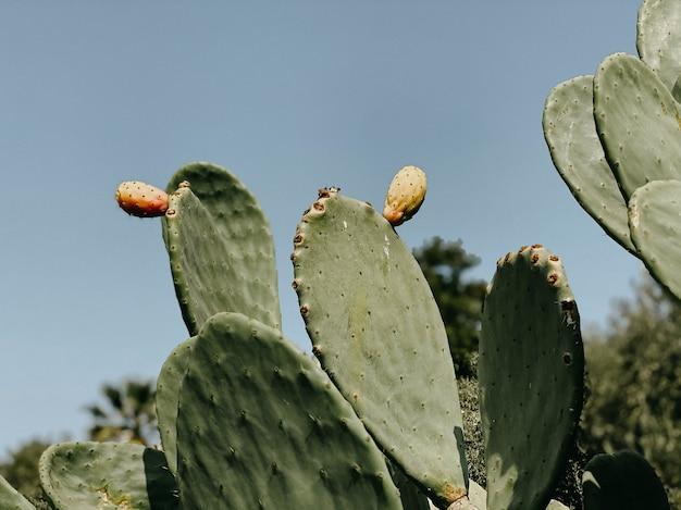 Zbliżenie kaktus z owocami na tle błękitnego nieba. koncepcja rekreacji i turystyki. naturalne tło lato.
