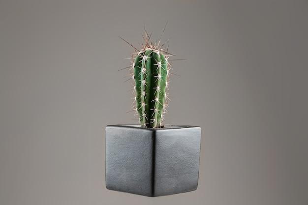 Zbliżenie kaktusa w doniczce z długimi cierniami na szarym biurze. pojęcie hemoroidów, problemów, zapalenia migdałków, ostrego bólu.