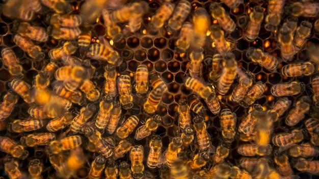 Zbliżenie kilka pszczół roi się na plaster miodu w pasieki. widok pracujących pszczół na komórkach miodowych w ulu. ula pszczeli robi miód.