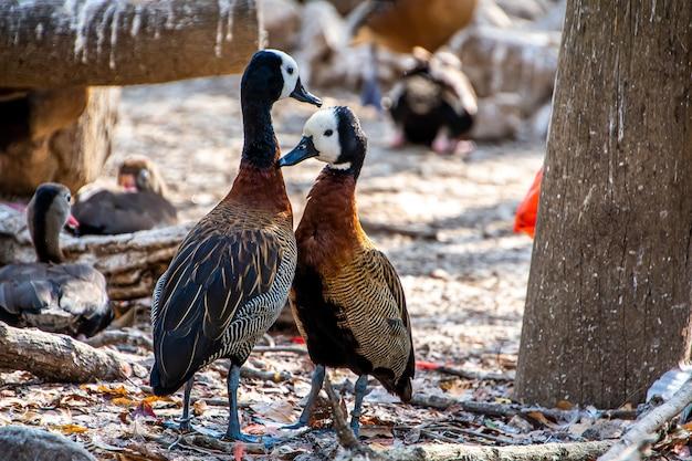 Zbliżenie: kilka świszczących kaczek