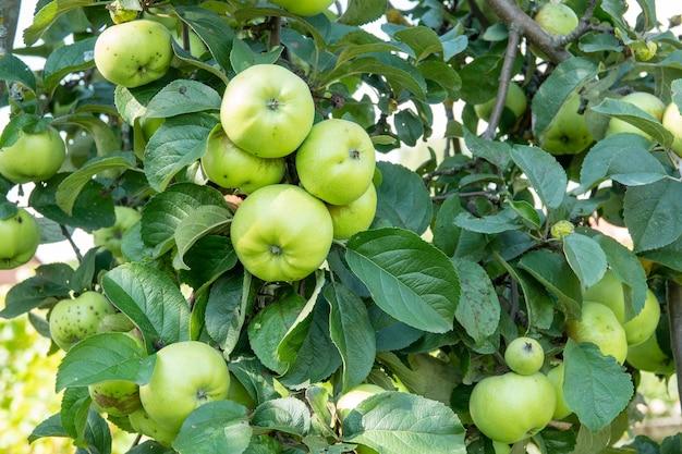 Zbliżenie kiści bio organicznych czerwonych jabłek rosnących na gałęziach jabłoni w sadzie