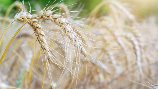 Zbliżenie kłosy pszenicy. rolnictwo, sezon zbiorów.