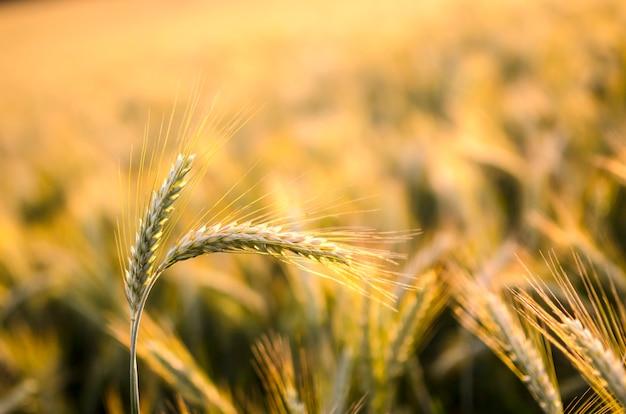 Zbliżenie kłosy pszenicy z polem pszenicy w tle.