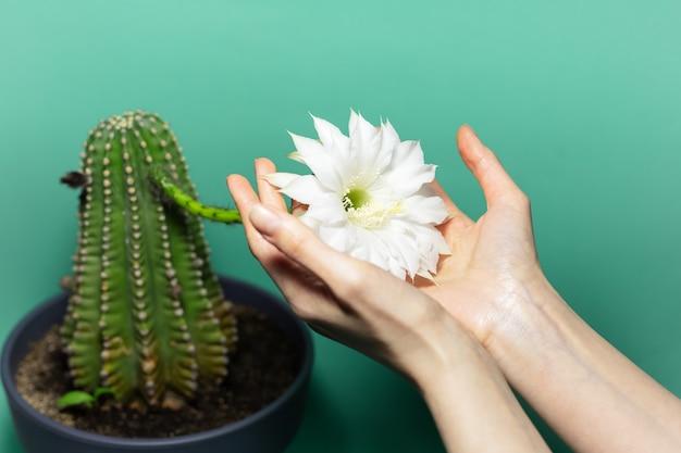 Zbliżenie kobiece ręce trzymając biały kwitnący biały kwiat zielonej rośliny kaktusa na zielonym tle.
