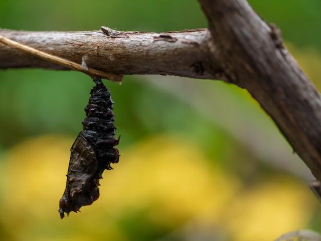 Zbliżenie kokon motyl poczwarka