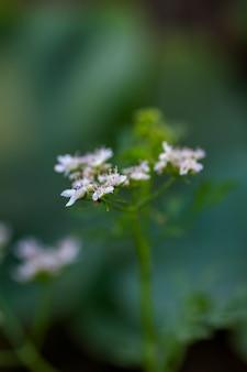 Zbliżenie kolendra kwitnie na roślinie w rolnym polu