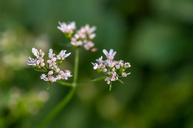 Zbliżenie kolendra kwitnie w rolnym polu