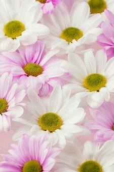 Zbliżenie: kolorowe wiosenne stokrotki