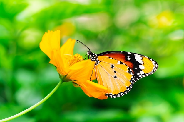 Zbliżenie kolorowy tajski motyl na żółtym kwiatku z rozmytym tłem zieleni