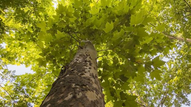 Zbliżenie kory drzewa klonowego i zielona duża korona w letnim widoku z dołu