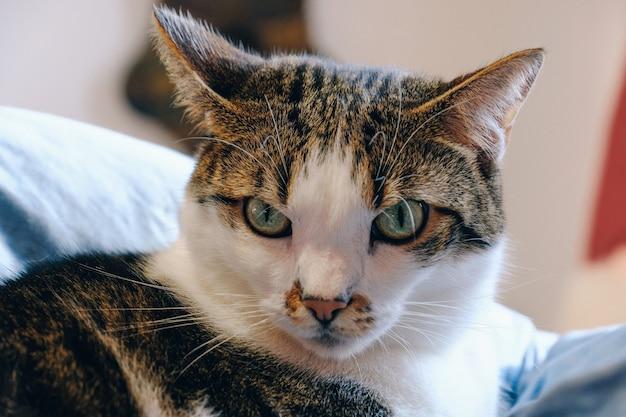 Zbliżenie kot patrzeje gniewny
